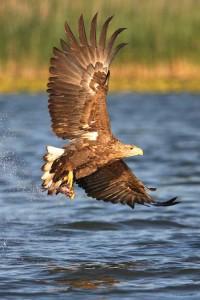 Fischadler - Bild: B. Burchett