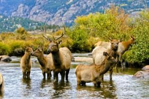Eine Elch Herde im Rocky Mountain National Park